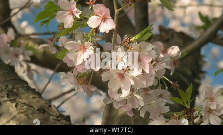 Close up de cerisiers en fleurs à washington dc Banque D'Images
