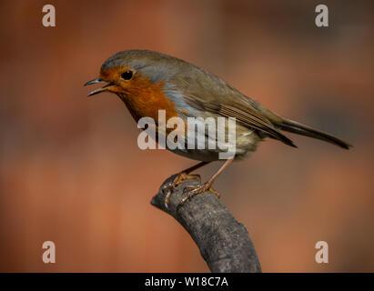 Robin Redbreast oiseaux jardin se pose sur une branche. Banque D'Images