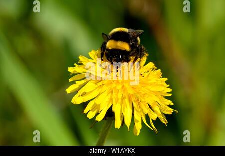 Un insecte d'abeilles bourbé qui recueille le nectar d'une fleur de pissenlit et a une tique coincée dans la bande jaune sur son dos.
