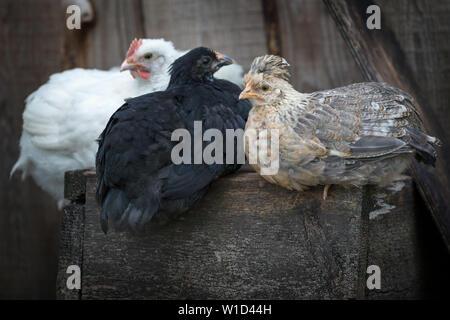 Marron, blanc et noir poules assis sur le vieux bois fort Banque D'Images