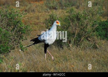 Secretarybirds exotiques sont endémiques à l'Afrique. Ce magnifique spécimen sauvage a été photographié sur safari en Afrique du Sud. Banque D'Images