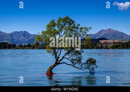 """L'emblématique """"Lone Tree' dans le lac, le lac Wanaka, Région de l'Otago, île du Sud, Nouvelle-Zélande Banque D'Images"""