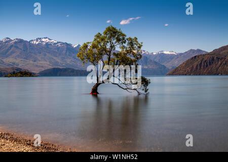 """L'emblématique """"Lone Tree' dans le lac, le lac Wanaka, Région de l'Otago, île du Sud, Nouvelle-Zélande"""