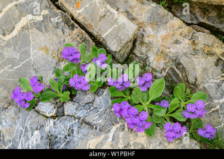 De plus en plus rock rose primevère gap, Val Maira, Alpes Cottiennes, Piémont, Italie Banque D'Images