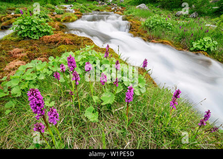 Orchidée rose avec ruisseau en arrière-plan, le Val Maira, Alpes Cottiennes, Piémont, Italie Banque D'Images