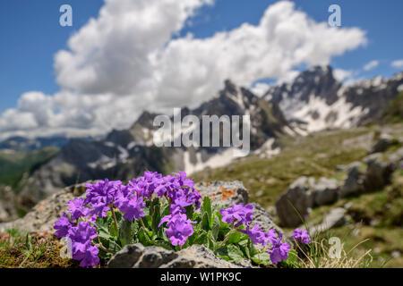 Primevère rose avec des montagnes en arrière-plan, le Val Maira, Alpes Cottiennes, Piémont, Italie Banque D'Images