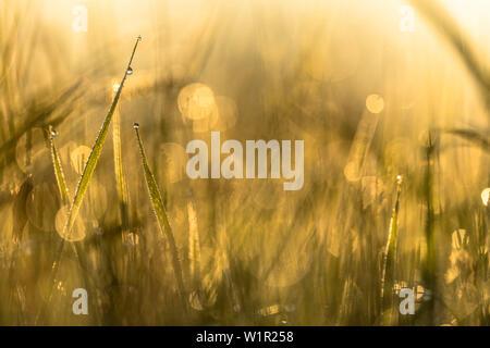 Réserve de biosphère de Spreewald, Brandebourg, Allemagne, aire de loisirs, nature sauvage, wild prairie avec des brins d'herbe et de gouttes de rosée au lever du soleil, l'aube, flo