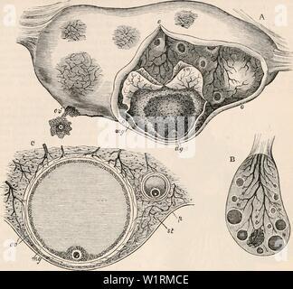 Image d'archive à partir de la page 70 de la cyclopaedia de l'anatomie et. La cyclopaedia de l'anatomie et physiologie cyclopdiaofana05todd Année: 1859 OVUM. 57 Fig. 41. Rapport de l'ova et ovaires dans Mammalia. A. (à partir de la Coste, réduit par Longet.) Les droits de l'ovaire, quatre diamètres élargie, partiellement disséqué à ooo, pour montrer les follicules de De Graaf dans le stroma ovarien: l'une de ces, plus avancé, a eu sa tunique, double o v, coupé en et reflétée; la membrane granulaire, m g, a également été partiellement ouvert, montrant la partie épaissie ou granulaire, disque dg, dans lequel l'ovule est ancré à proximité de la plus Banque D'Images