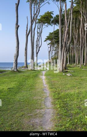 Chemin le long des falaises et des forêts de hêtres à Nienhagen, côte de la mer Baltique, Mecklembourg-Poméranie-Occidentale, Allemagne du Nord, l'Allemagne, de l'Europe Banque D'Images