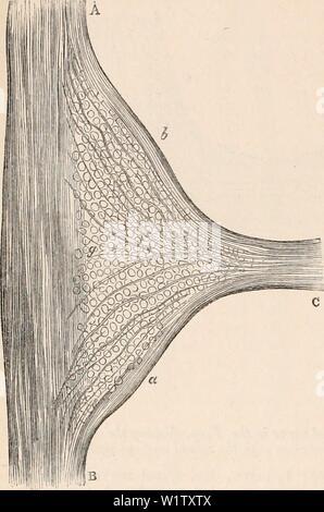 Image d'archive à partir de la page 525 de la cyclopaedia de l'anatomie et. La cyclopaedia de l'anatomie et physiologie cyclopdiaofana05todd Année: 1859 450 SYMPATHIQUE. Bon nombre des glandes: ils ont été vus par Liulwig sur les nerfs du rein; aussi par la Fig. 296. Quatrième ganglion thoracique de lapin; montrant le cours des fibres contenues dans la direction générale de la communication après avoir atteint le sympathique. Un B, cordon principal; un sympathique de l'encéphale,, B, c, d'extrémité pelvienne; communiquer; g, des corpuscules d'accueil; une partie, des fibres dans la direction générale des communications passant vers l'ext pelvienne Banque D'Images