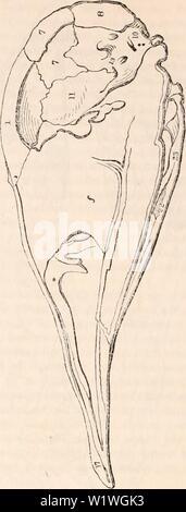 Image d'archive à partir de la page 921 de la cyclopaedia de l'anatomie et. La cyclopaedia de l'anatomie et physiologie cyclopdiaofana03todd Année: 1847 crâne d'un jeune ( Autruche Camelus hio béquille). os palatin et celui qui prend en charge la mâchoire inférieure (26). Dans les Reptiles elles sont grandes et importantes détachée des os, occupant la po- tion du processus ptérygoïde du sphe- noid; mais chez les oiseaux et les mammifères qu'ils deviennent complètement anchylosed avec le sphenoid, afin que, par l'homme osteologist, ils sont simultanément erro- considérés comme des apophyses que l'os. L'article de crâne d'Ottrich les jeunes. L'apophyse zygomatique, Owen, Banque D'Images