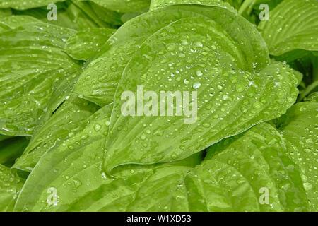 La rosée du matin sur les feuilles vertes de la plante Banque D'Images