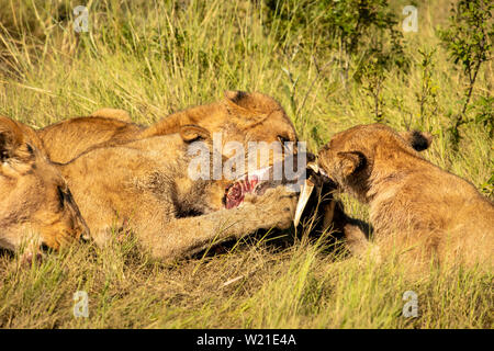 La fierté du Lion mangeant phacochère au Botswana