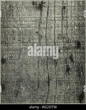 Image d'archive à partir de la page 11 des défauts dans le bois. Dans les défauts causés par les insectes bois1490defectsintimberc snyd Année: 1927 BULLETIN 10' 1490, MINISTÈRE DE L'agriculture dans les bois. Dans ce dernier cas, le dommage est causé par les larves ou vers blancs (jeunes) de l'insecte. Défauts STÉNOPÉS FORMÉ DANS LES ARBRES VIVANTS; UNE PERTE Quand NONPREVENTABLE pinhole défauts apparaissent dans l'arbre vivant, il est bien sûr im- possible pour le marchand de bois pour empêcher le dommage, puisque les trous &Lt; fig. 9.-d'épingle avec de courtes stries tache faite en bois de frêne vert par Platypus compositus ont été
