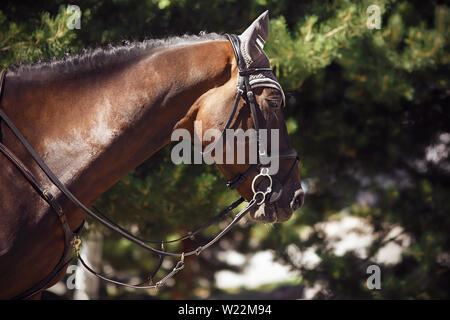 La tête est beau cheval alezan, le port de la bride, le bit et d'autres équipements officiels pour les sports équestres. Le cheval se dresse sur un arrière-plan de résineux Banque D'Images