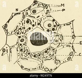 Image d'archive à partir de la page 220 du cytoplasme de l'usine Banque D'Images