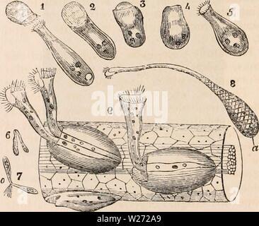 Image d'archive à partir de la page 33 de la cyclopaedia de l'anatomie et. La cyclopaedia de l'anatomie et physiologie0401cyclopdiaofana todd Année: 1847 Section d'une partie de la périphérie de Ophrydium versatile, montrant la manière dont l'individu animalcules sont implantés dans la masse, les naturalistes comme étant une masse de matière végétale, et avait les noms de ulva, fucus, conferva, &c. qui lui sont attribuées par différents auteurs, jusqu'à ce que Miiller, en 1786, d'abord annoncé sa vraie nature et sa relation avec le vorticelline animalcules. Il se trouve sous la forme d'une masse gélatineuse d'un vert terne ou animé Banque D'Images
