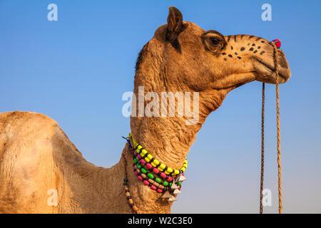 L'Inde, Rajasthan, Pushkar, décorées à l'Camel Camel Pushkar Fair Banque D'Images