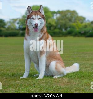 husky sibérien Banque D'Images