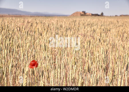 Rouge Coquelicot blooming in wheat field