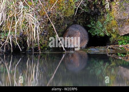 Le Campagnol de l'eau (Arvicola amphibius)