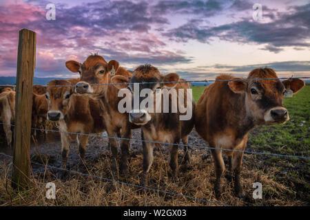 Friendly vaches dites bonjour au coucher du soleil. Le nord de la Californie, USA. Banque D'Images