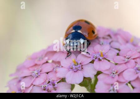 Image en gros plan d'un Coccinella 7-punctata (Sept-spot ladybird) sur l'Achillea millefollium 'Summer berries' Banque D'Images
