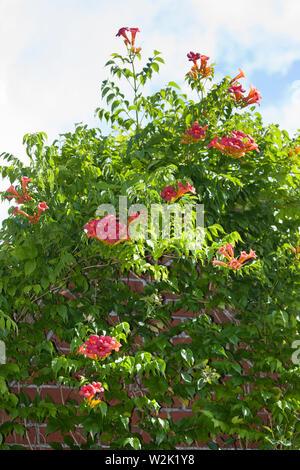 Klettertrompete Kletter-Trompete Trompetenblume,,, Trompeten-Blume Trompetenwinde Trompetenwein,,, Trompeten-Winde, Campsis spec., Bignonia spec., Tec