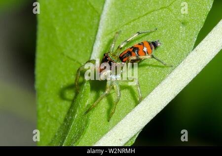 Zodariidae (Natta sp, famille des Salticidae) sur feuille, Klungkung, Bali, Indonésie. Banque D'Images
