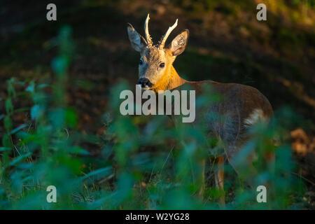 Roe Deer buck, Basse-Saxe, Allemagne, Capreolus capreolus