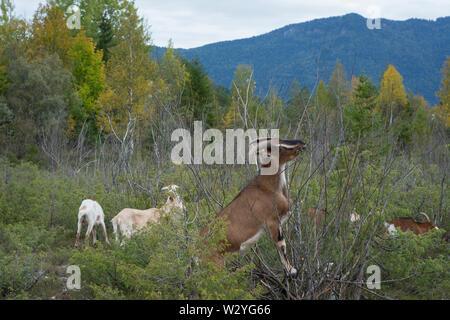 La Chèvre, brauneck, lenggries, benediktenwand, isarwinkel, région de la Haute-Bavière, Alpes bavaroises, la Bavière, la vallée de l'Isar, Allemagne Banque D'Images