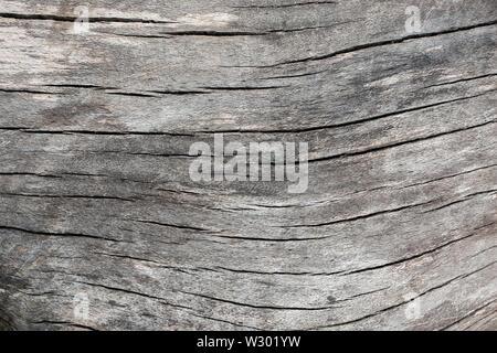 Un gros plan d'un vieux tronc d'arbre tombé, maintenant gris / gris et fissuré.