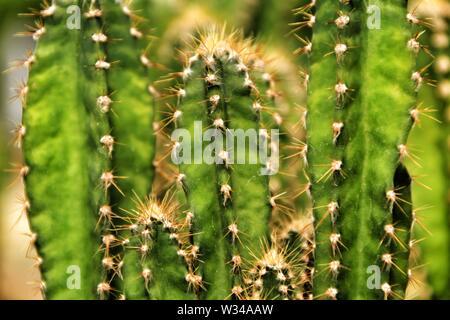 Beau Cactus Cereus dans le jardin au printemps