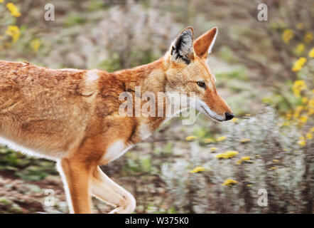 Portrait d'un loup éthiopien rares et menacées (Canis simensis) dans les hautes terres d'Ethiopie, les montagnes de balle. Banque D'Images