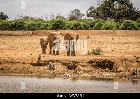Troupeau d'éléphants africains sur les plaines de savane à Tsavo East Park, Kenya Banque D'Images