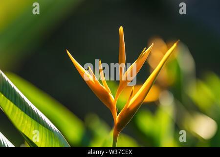 Strelitzia reginae ou oiseau du paradis fleur jaune, close-up Banque D'Images