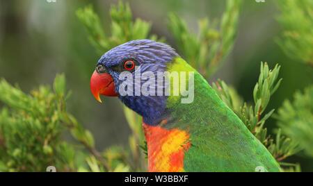 Allfarblori Parrot en Australie