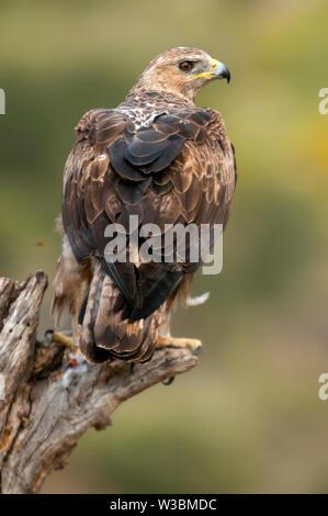 De rares oiseaux aigle de Bonelli sur une branche- Aquila fasciata -Hieraaetus fasciatus Banque D'Images