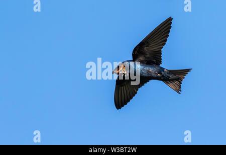 (Progne subis Hirondelle) mâle en vol avec un papillon proie dans son bec, Iowa, États-Unis. Banque D'Images
