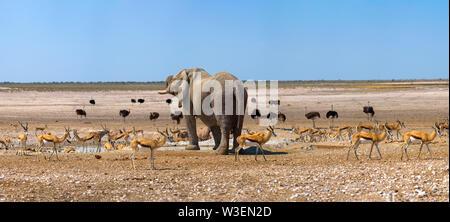 L'éléphant et de nombreuses gazelles et des autruches à un étang dans le parc d'Etosha, Namibie Banque D'Images