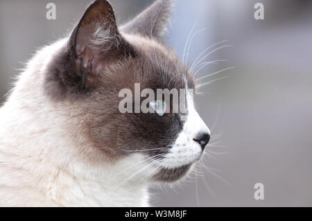 Belle seal point close up cat's face Banque D'Images
