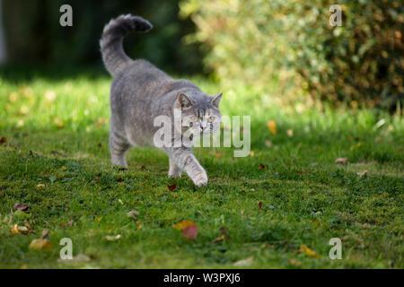 British Shorthair Cat. Lilas reine (4 ans) de marcher sur une pelouse. Allemagne Banque D'Images
