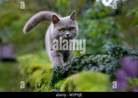 British Shorthair Cat. Lilas reine (4 ans) marche sur un mur de jardin. Allemagne Banque D'Images