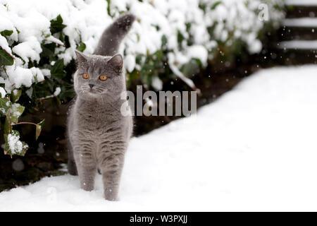 British Shorthair Cat. Tomcat gris (2 ans) Comité permanent en hiver à côté d'une haie. Allemagne Banque D'Images