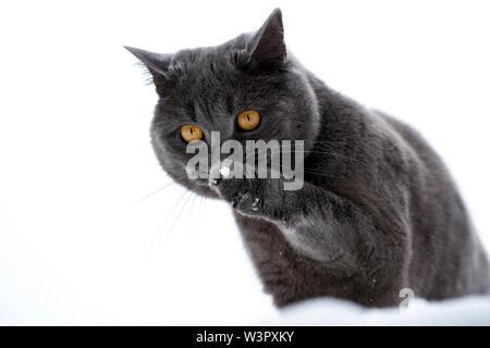 British Shorthair Cat. Black tomcat (3 ans) assis dans la neige tout en léchant ses pattes avant. Allemagne Banque D'Images