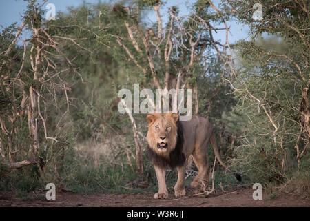 Lion, Panthera leo, sont fréquemment observés sur les safaris safari à Madikwe Game Reserve, North West, Afrique du Sud. Banque D'Images