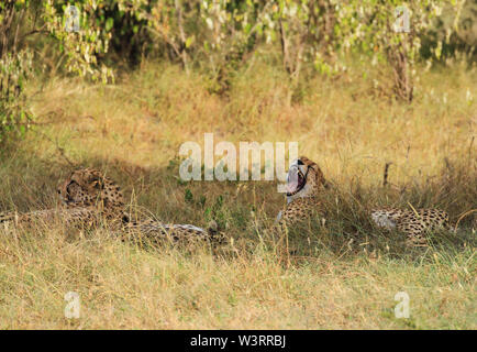 Le guépard, Acinonyx jubatus, bâillement le bâillement des dents larges de la langue. Le Masai Mara National Reserve. Se reposant dans l'ombre sous les arbres, dans l'herbe camouflé Banque D'Images