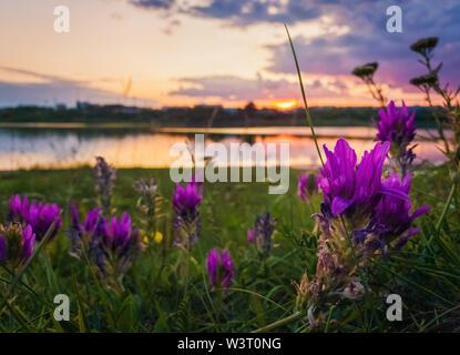 Close up of wild, fleurs violettes fleurissent dans la prairie près du lac sur fond coucher de soleil dans le calme soirée d'été. Banque D'Images