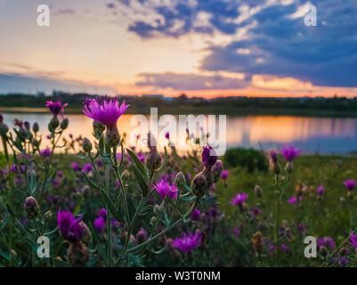 Close up of wild, arbuste en fleurs fleurs violet dans la prairie près du lac sur fond coucher de soleil dans le calme soirée d'été. Banque D'Images