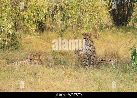 Le guépard Acinonyx jubatus quatre frères guépards lécher lécher les lèvres en position assise et couchée dans l'herbe le Masai Mara National Reserve Kenya Afrique de l'Est Banque D'Images